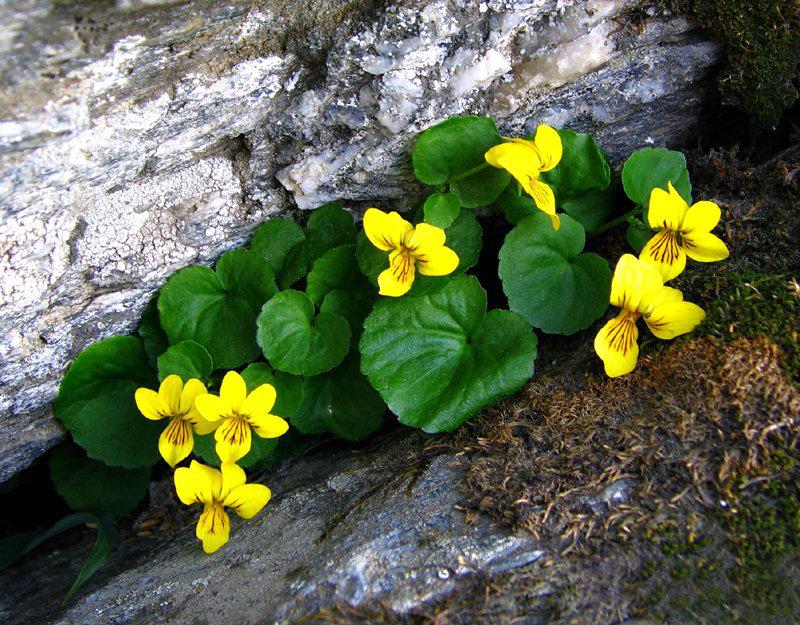 Hd Alpine Flowers