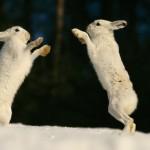 Rabbits on Ice