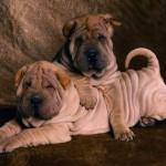 Angry Bulldog Baby photo
