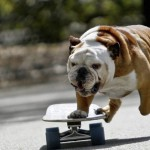 Angry Bulldog HD Wallpapers & Pictures