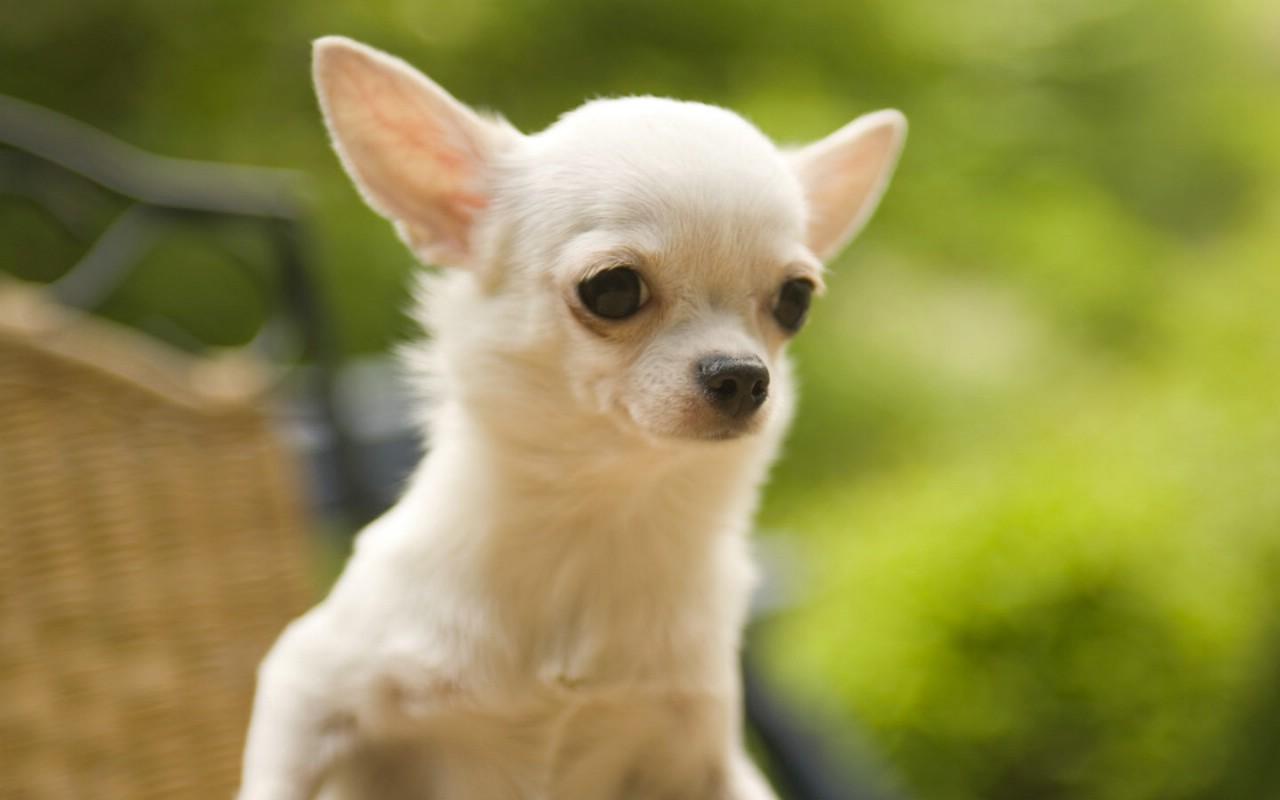 Chihuahua Dog Pics & images