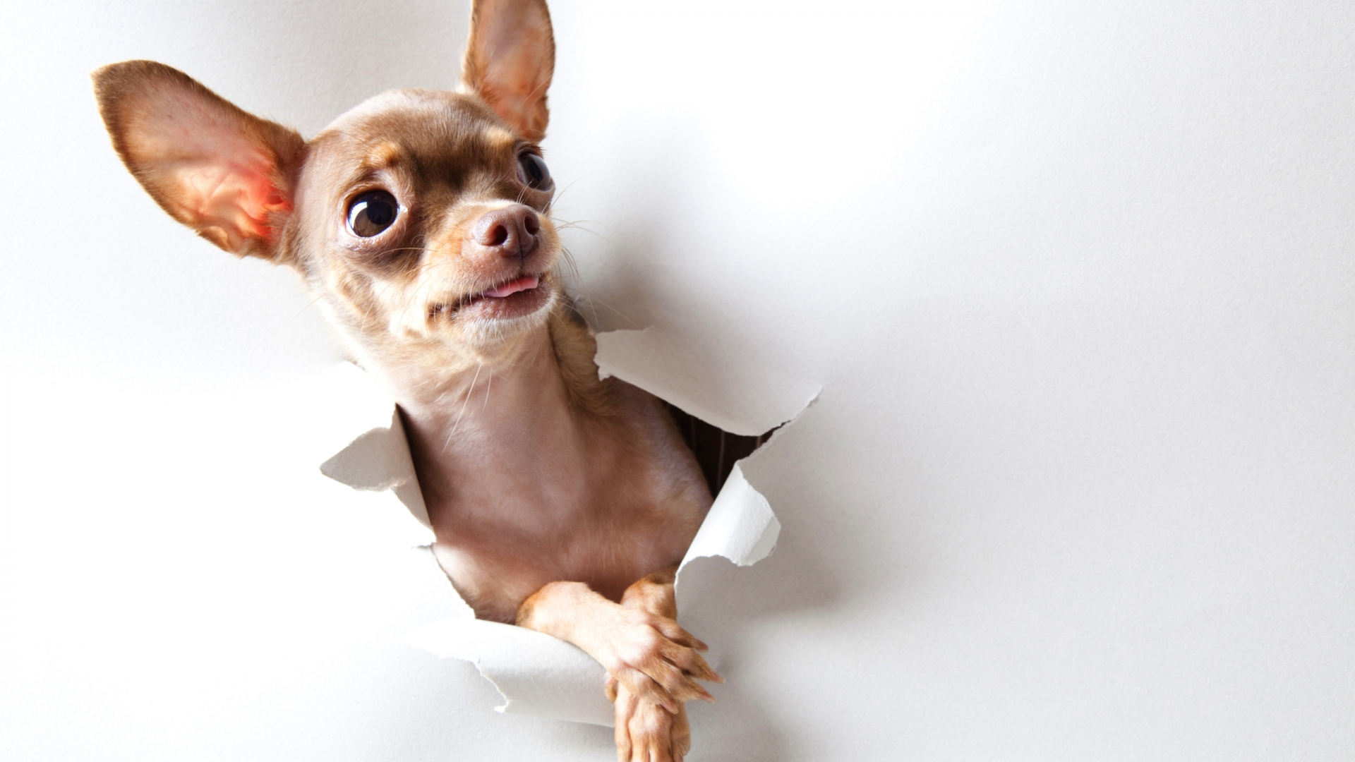 Chihuahua Dog Wallpaper & Picture