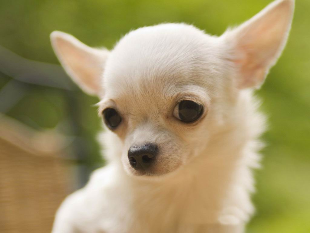 Chihuahua Dog Wallpaper & Pictures