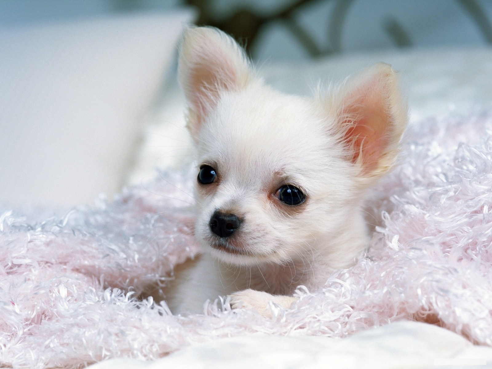 Chihuahua Dog Wallpapers & Pics