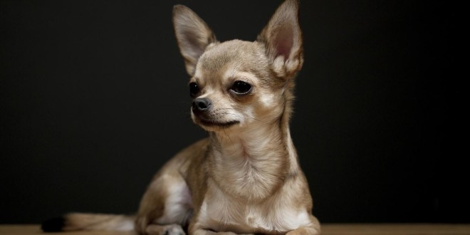 Chihuahua Dog Wallpapers & Picture