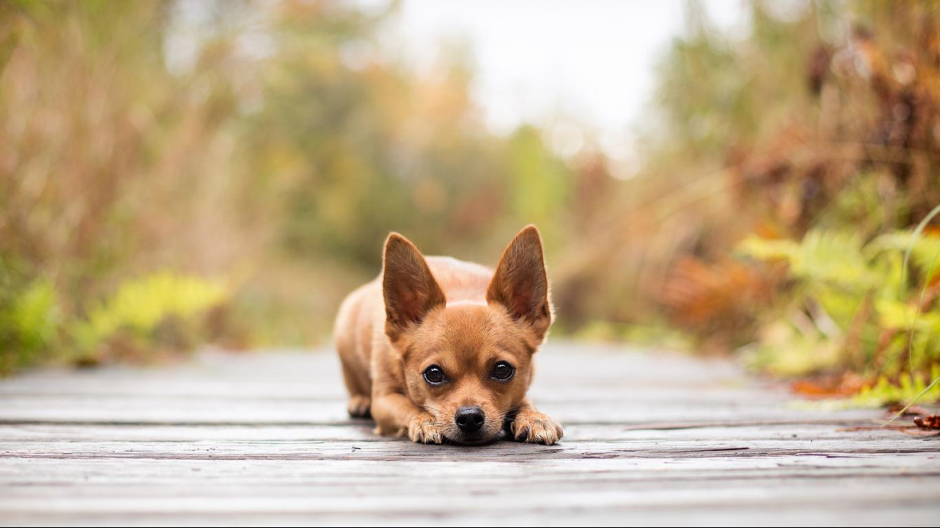 Chihuahua Dog Wallpapers & Pictures