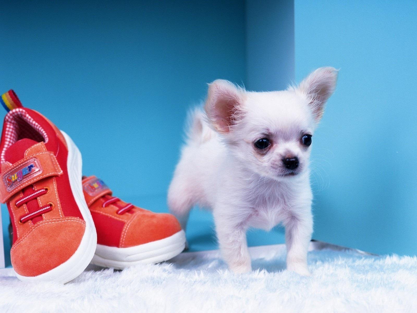 Chihuahua Dog photos & images