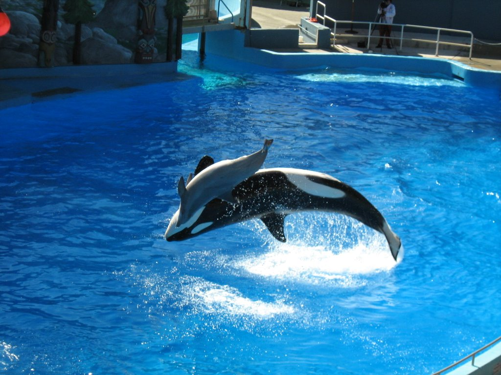 Killer Whale HD Wallpapers