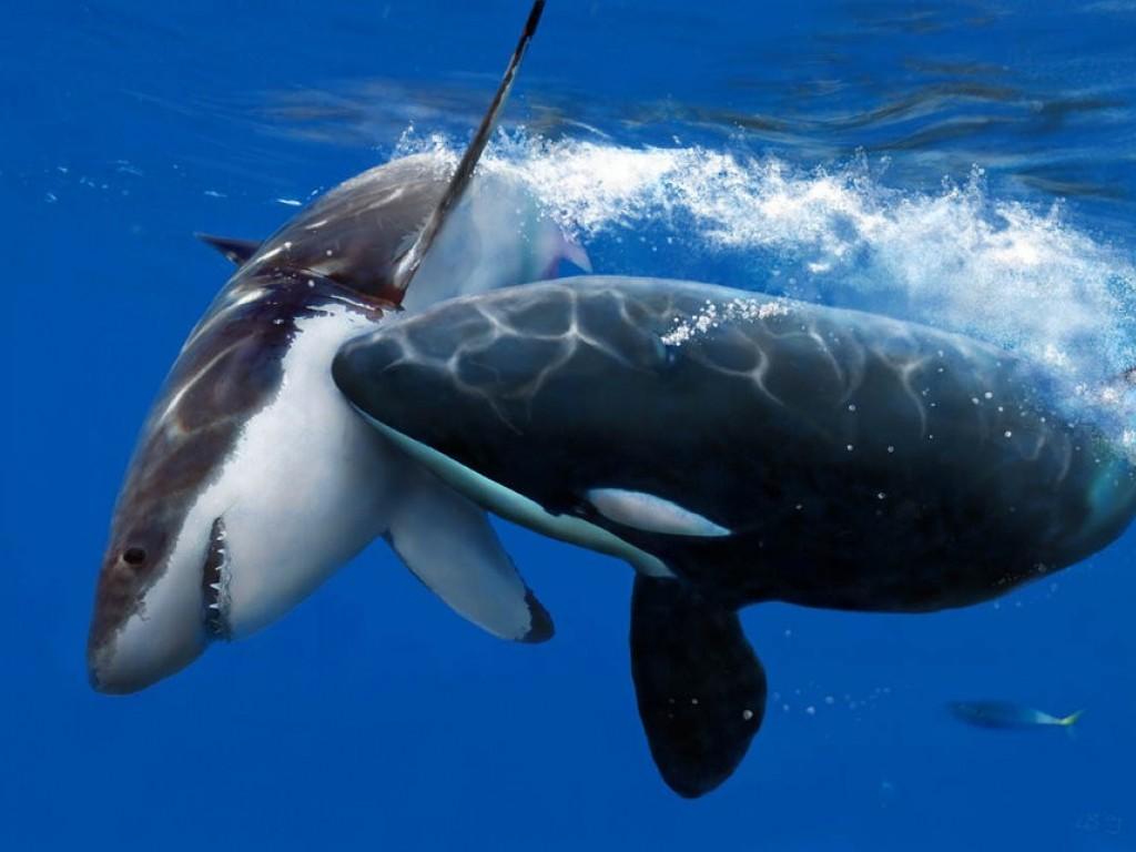 Killer Whale Pics &  Wallpaper