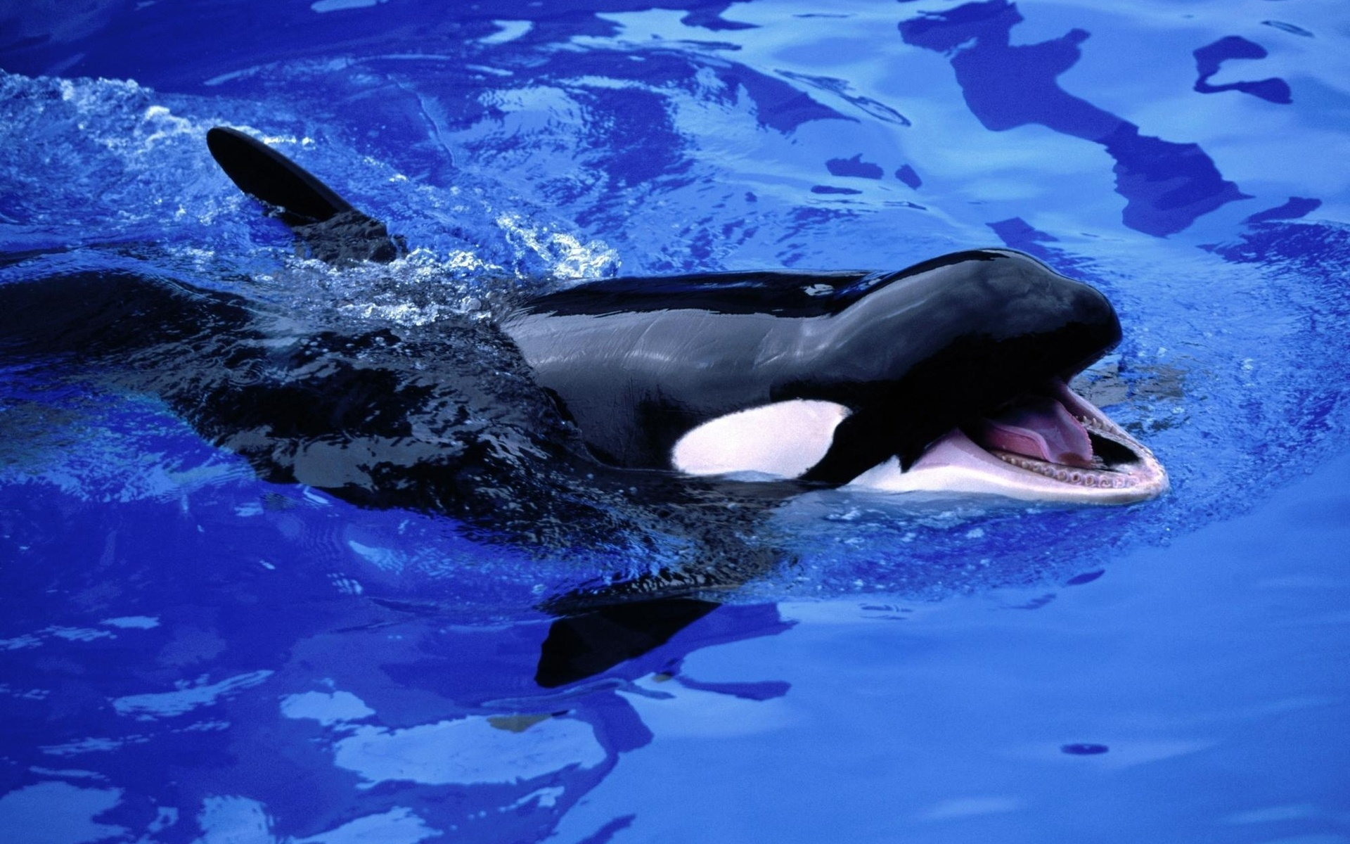 Killer Whale Pictures & Wallpaper
