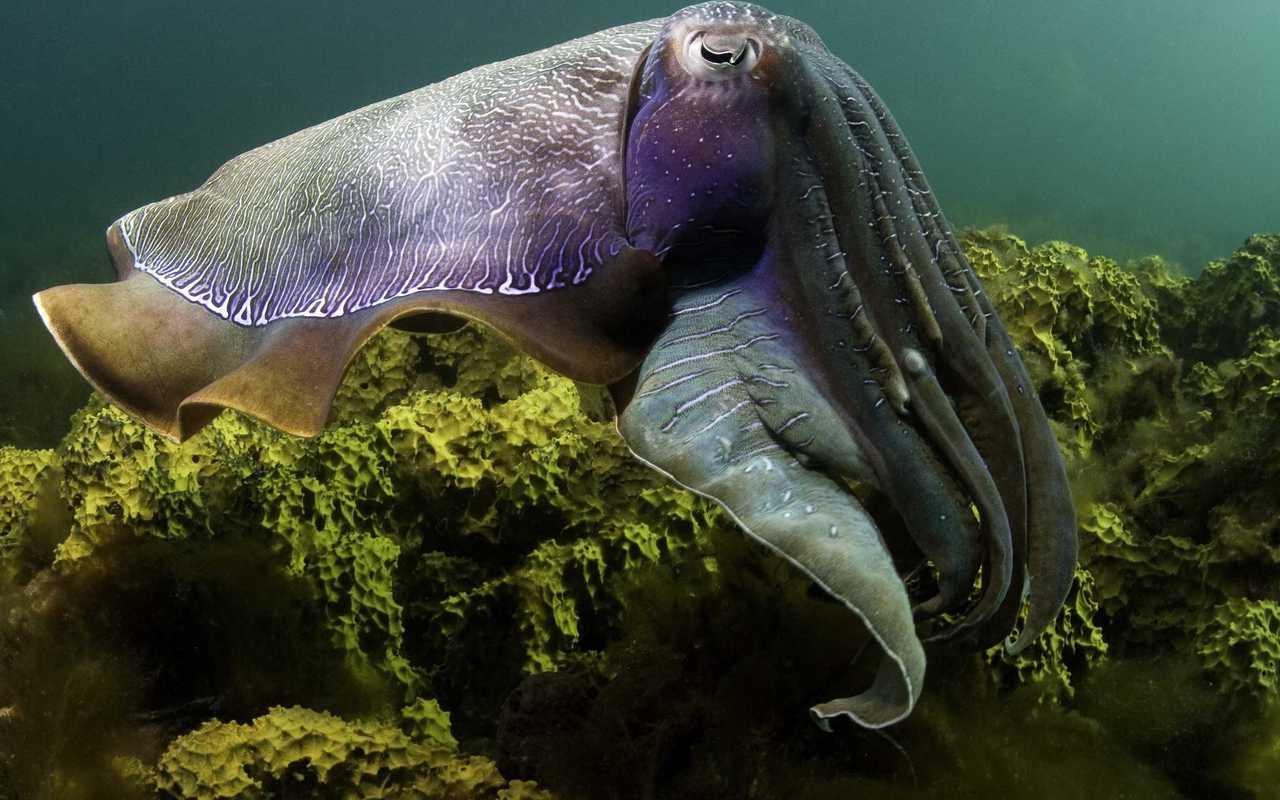 Octopus  Wallpaper & Pics
