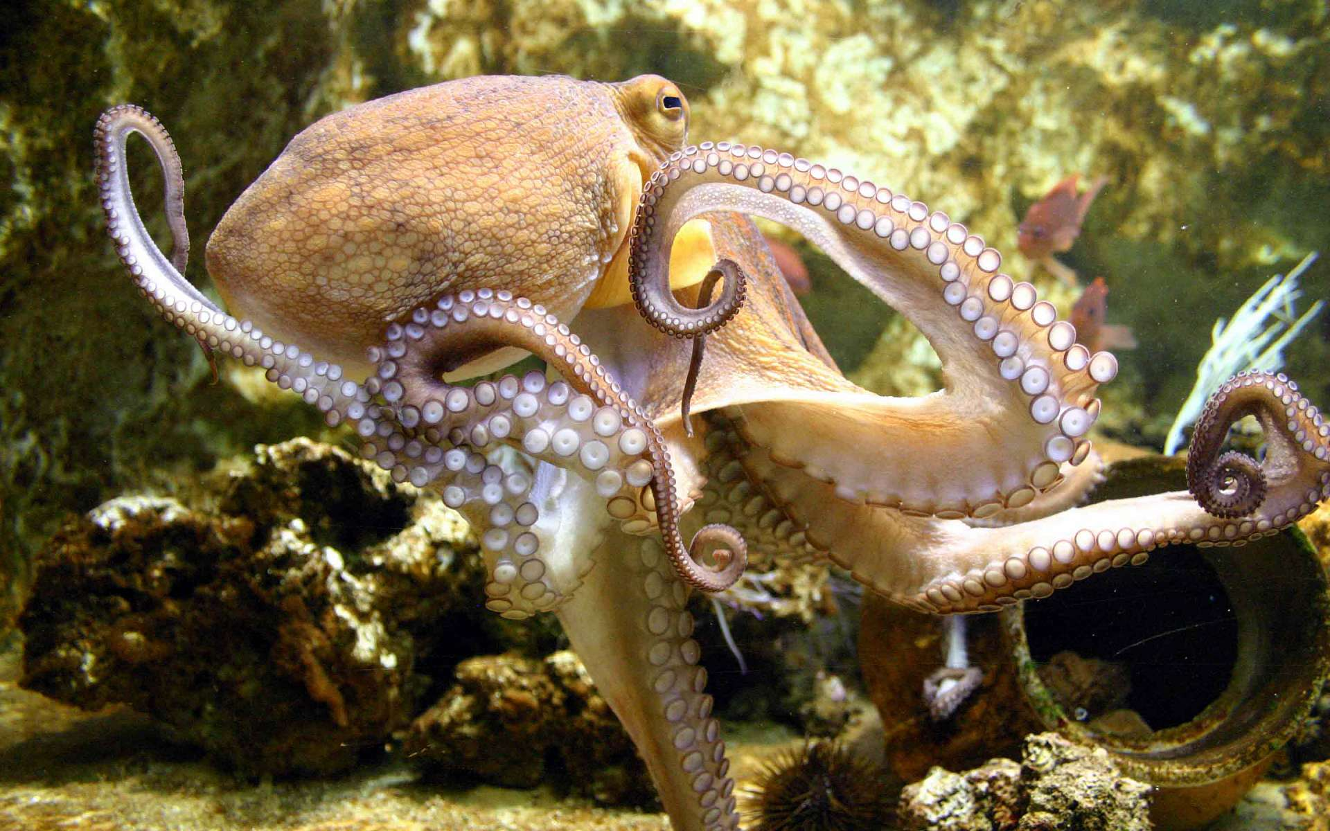 Octopus Image & Pictures