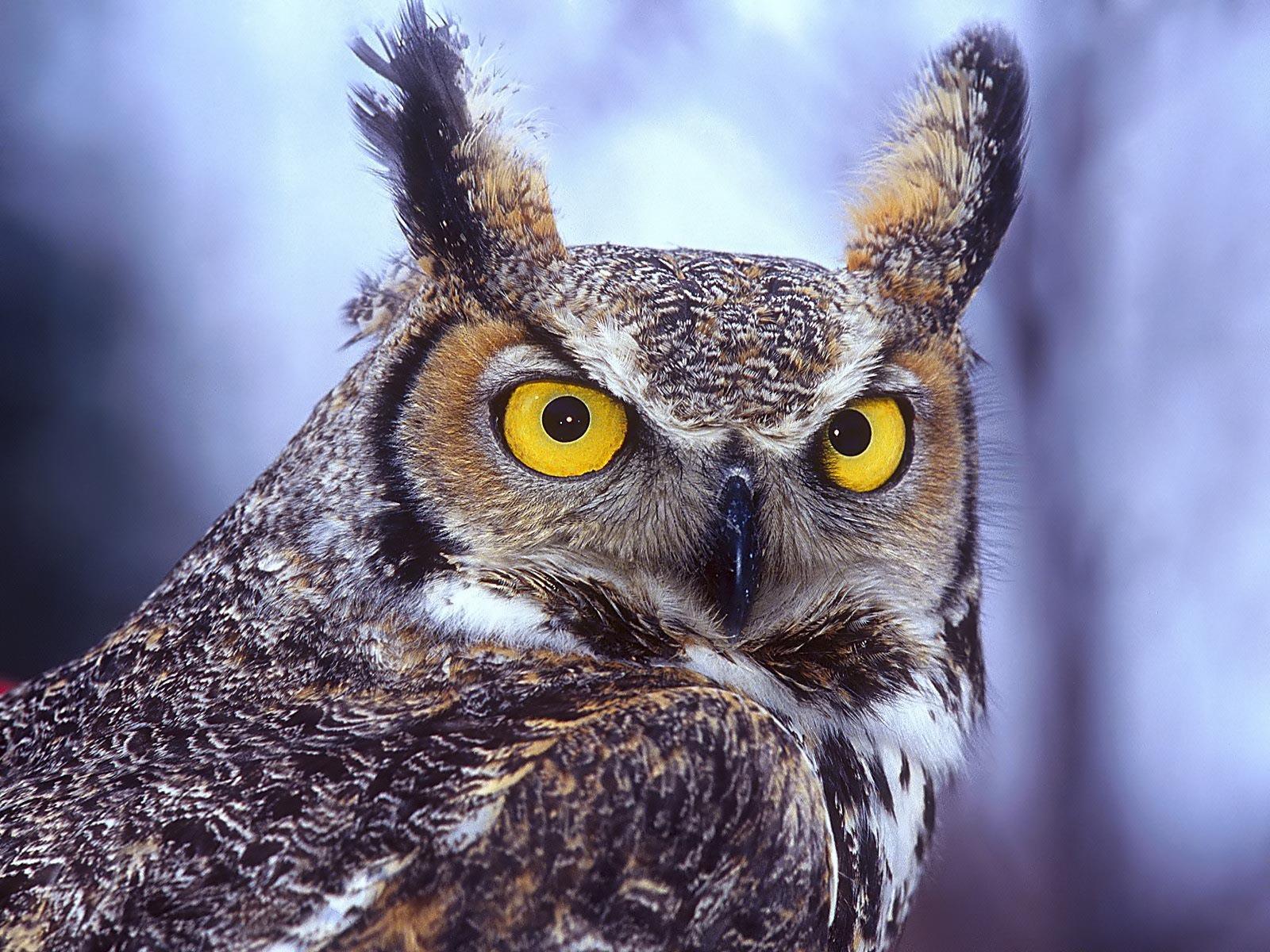 Owl Hd Photos