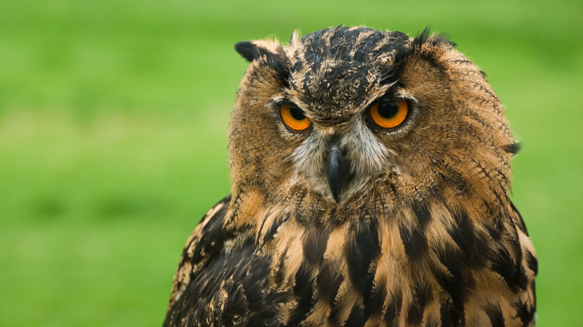 owl hd wallpapers driverlayer search engine