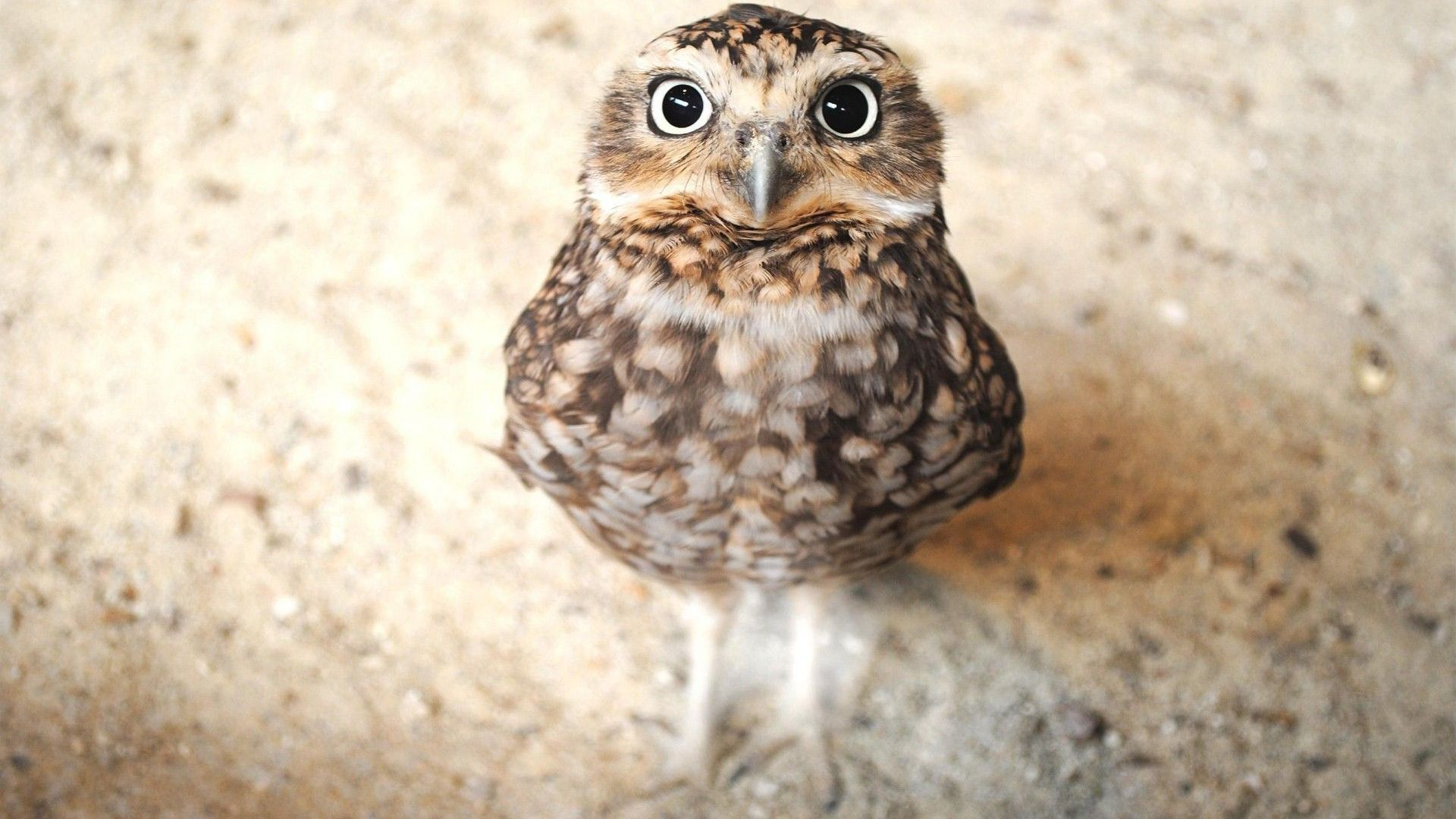 Owl in Brown Picture