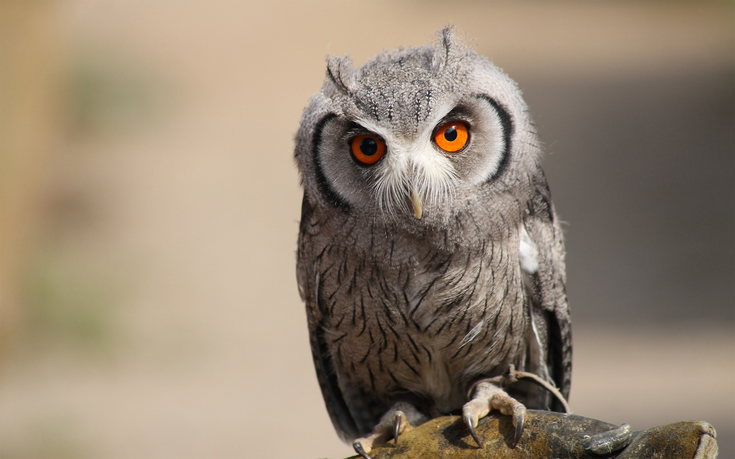 owl wallpapers amp pictures hd wallpapers