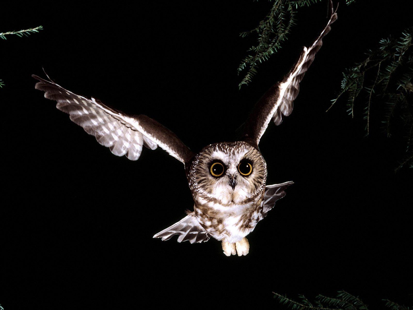 Owl Drk Wallpapers & Pics