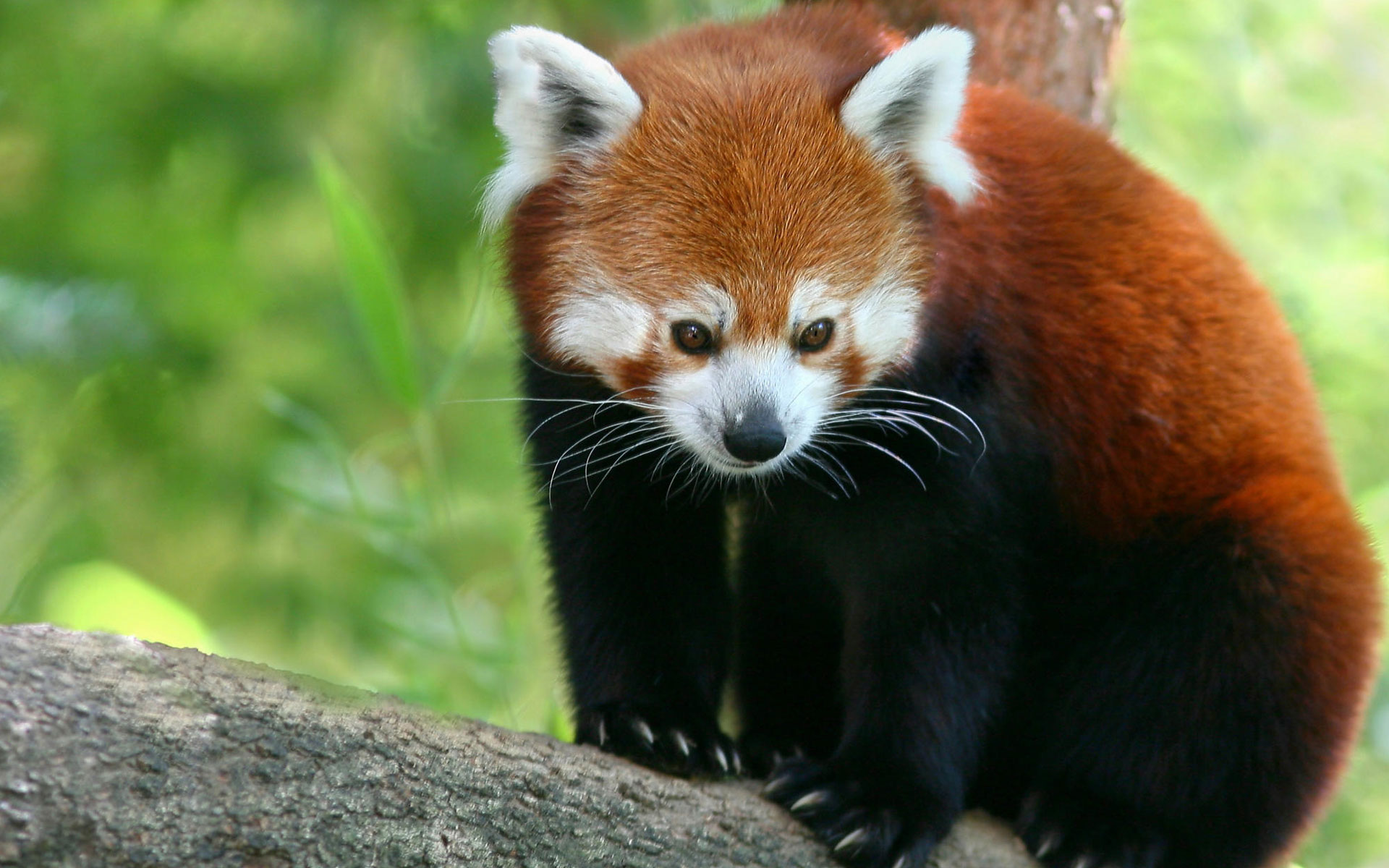 Red Panda HD Wallpapers