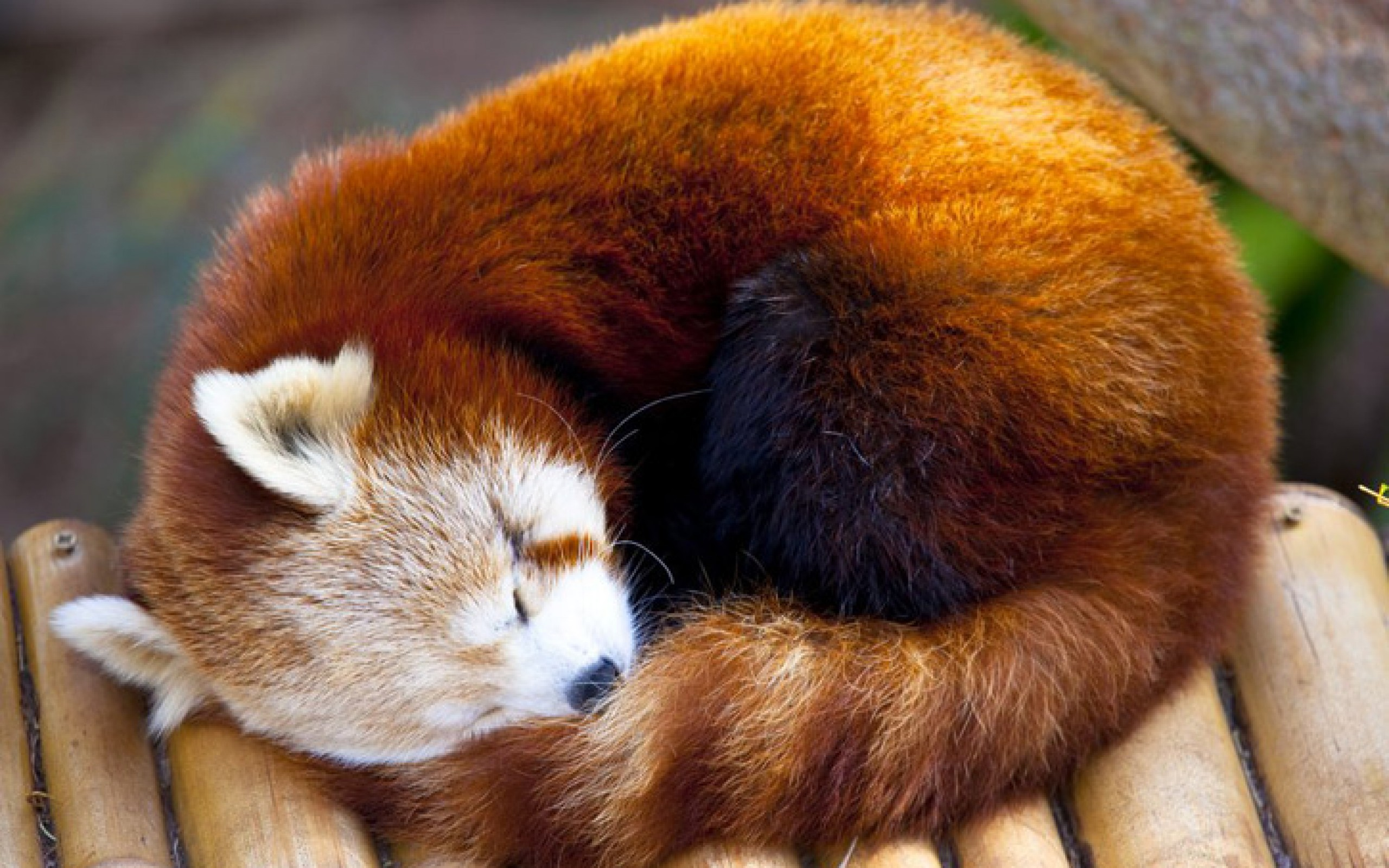 Red Panda Images & Pictures