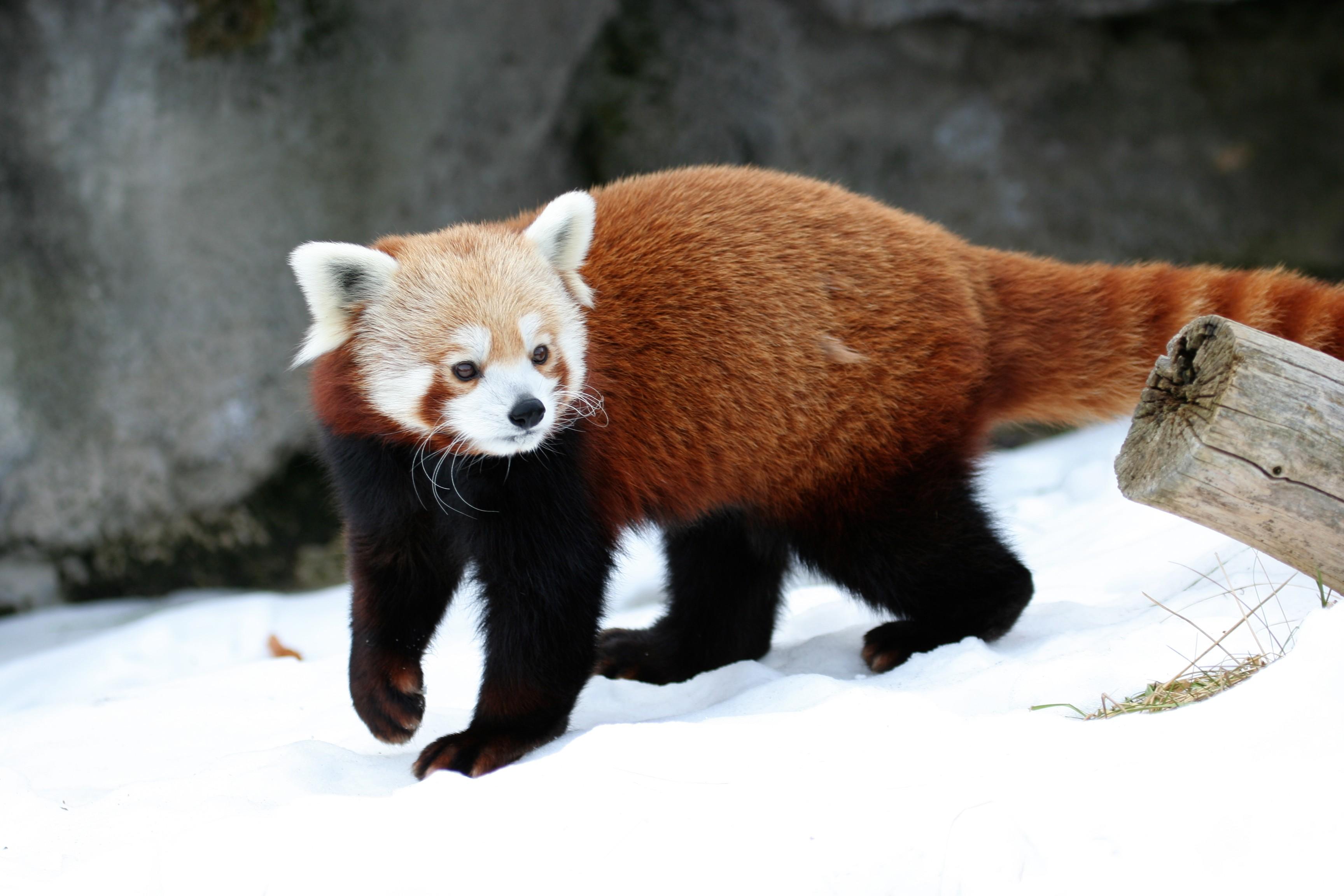 Red Panda Photos &Wallpapers