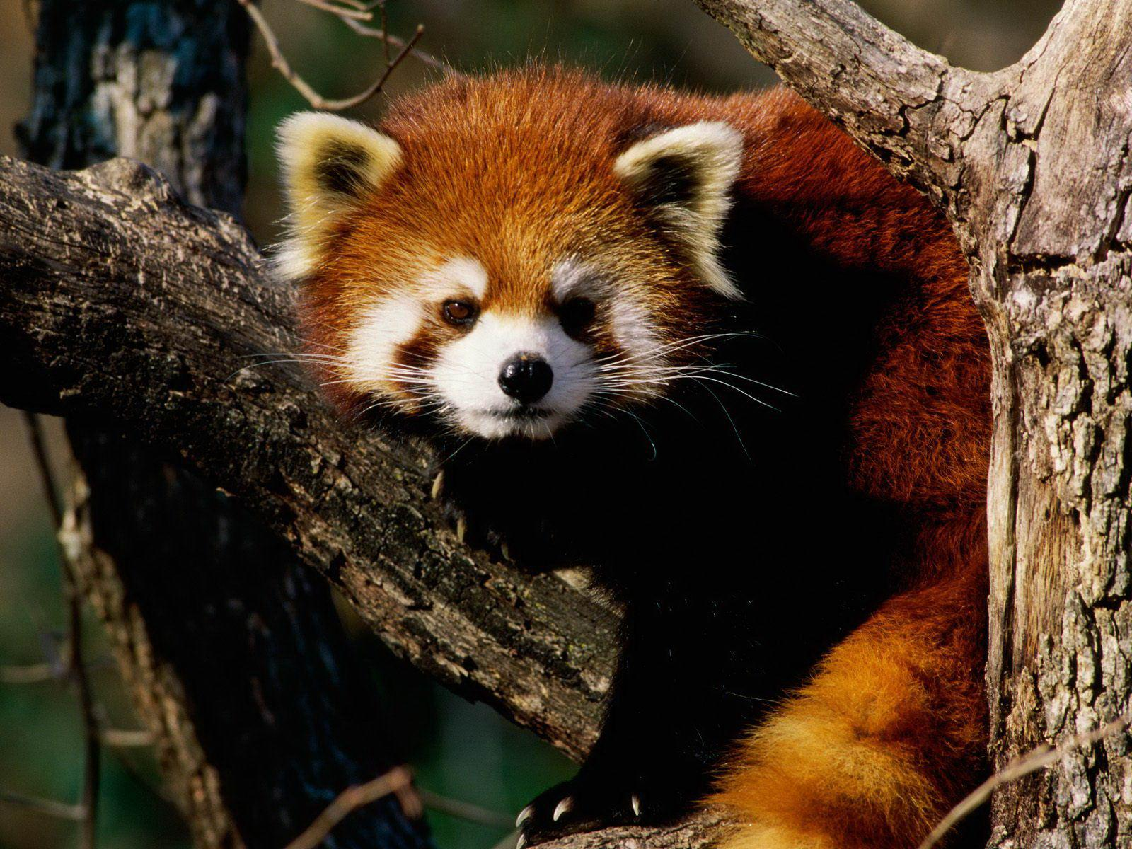 Red Panda Wallpaper & Pictures