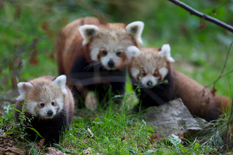 Red Panda Wallpapers & Pics
