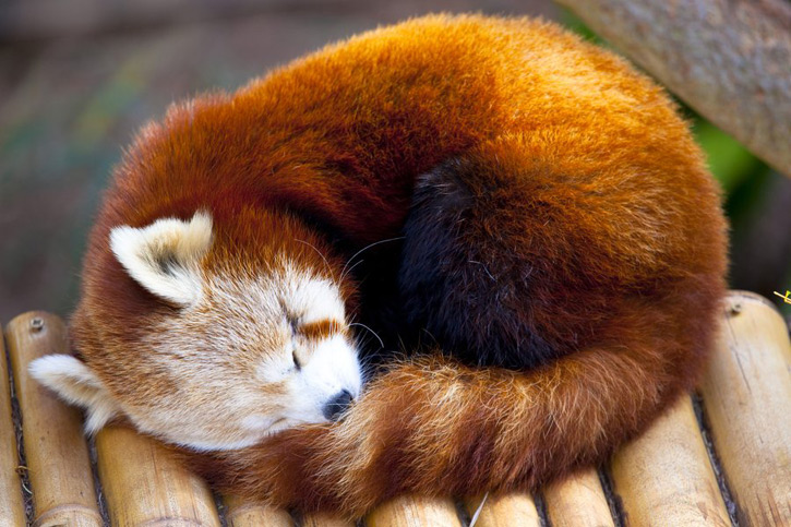 Red Panda Wallpapers & Picture