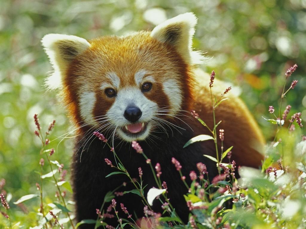 Red Panda Wallpapers & images