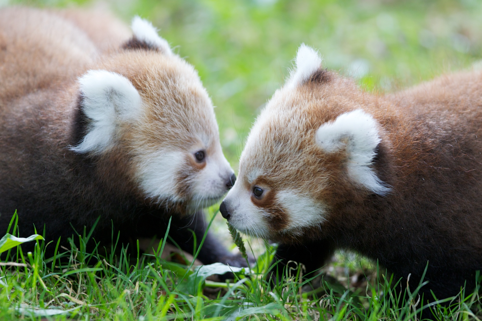 Red Panda hd Pictures