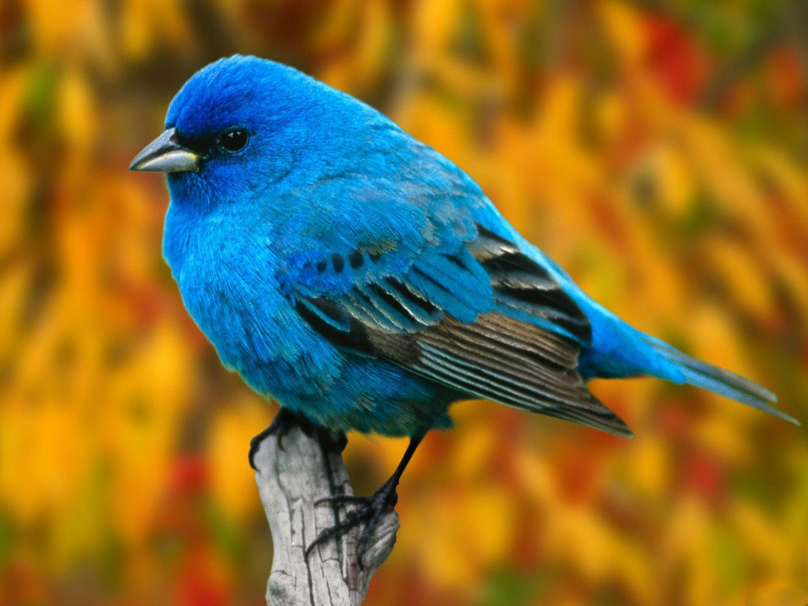 Beautiful  Wallpapers Blue Bird