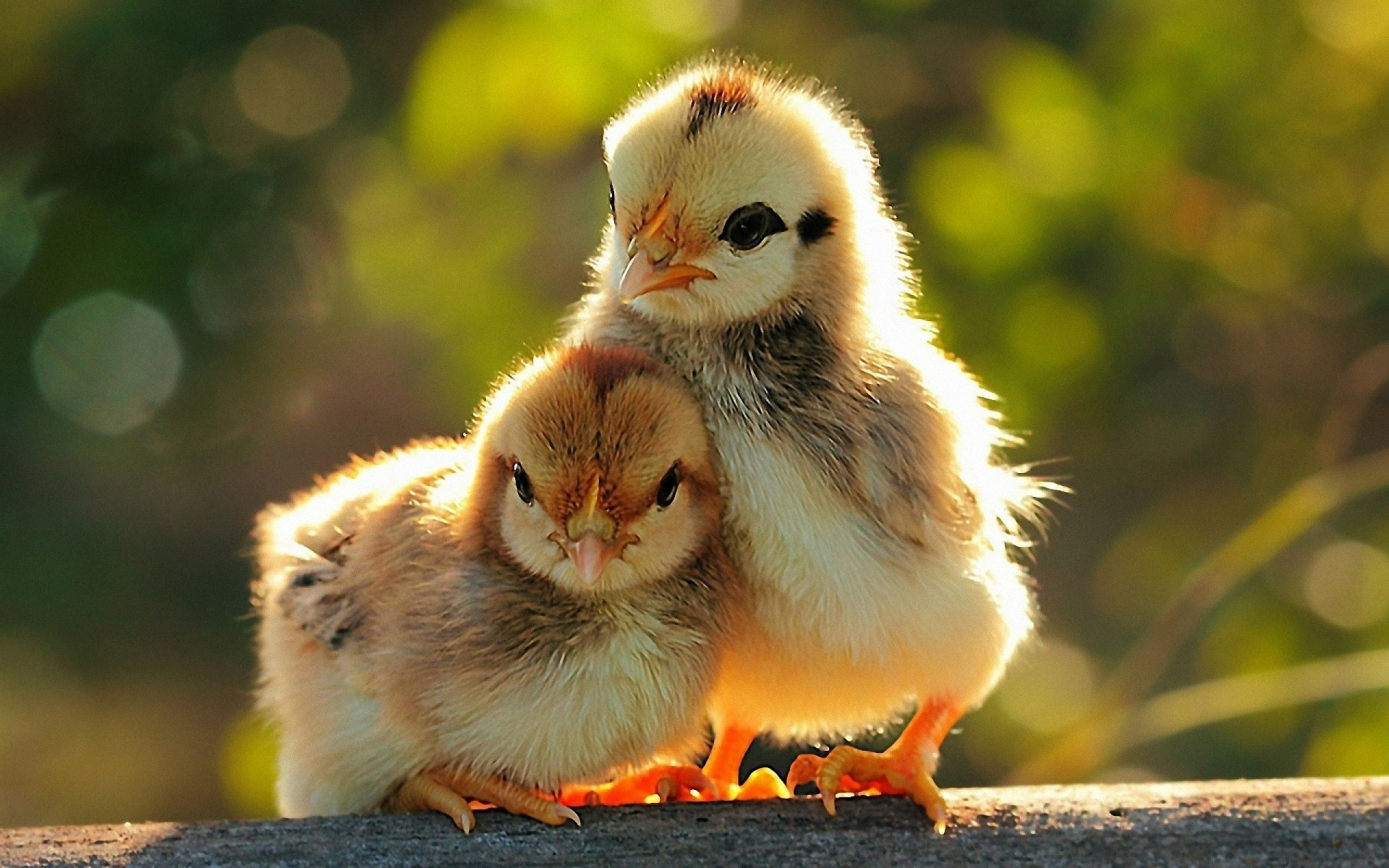 Chicken Photos & images