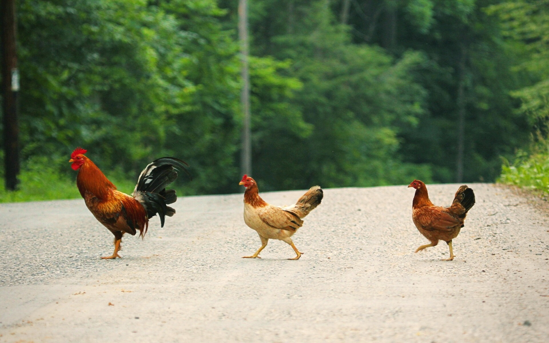Chicken  Wallpapers & Photo