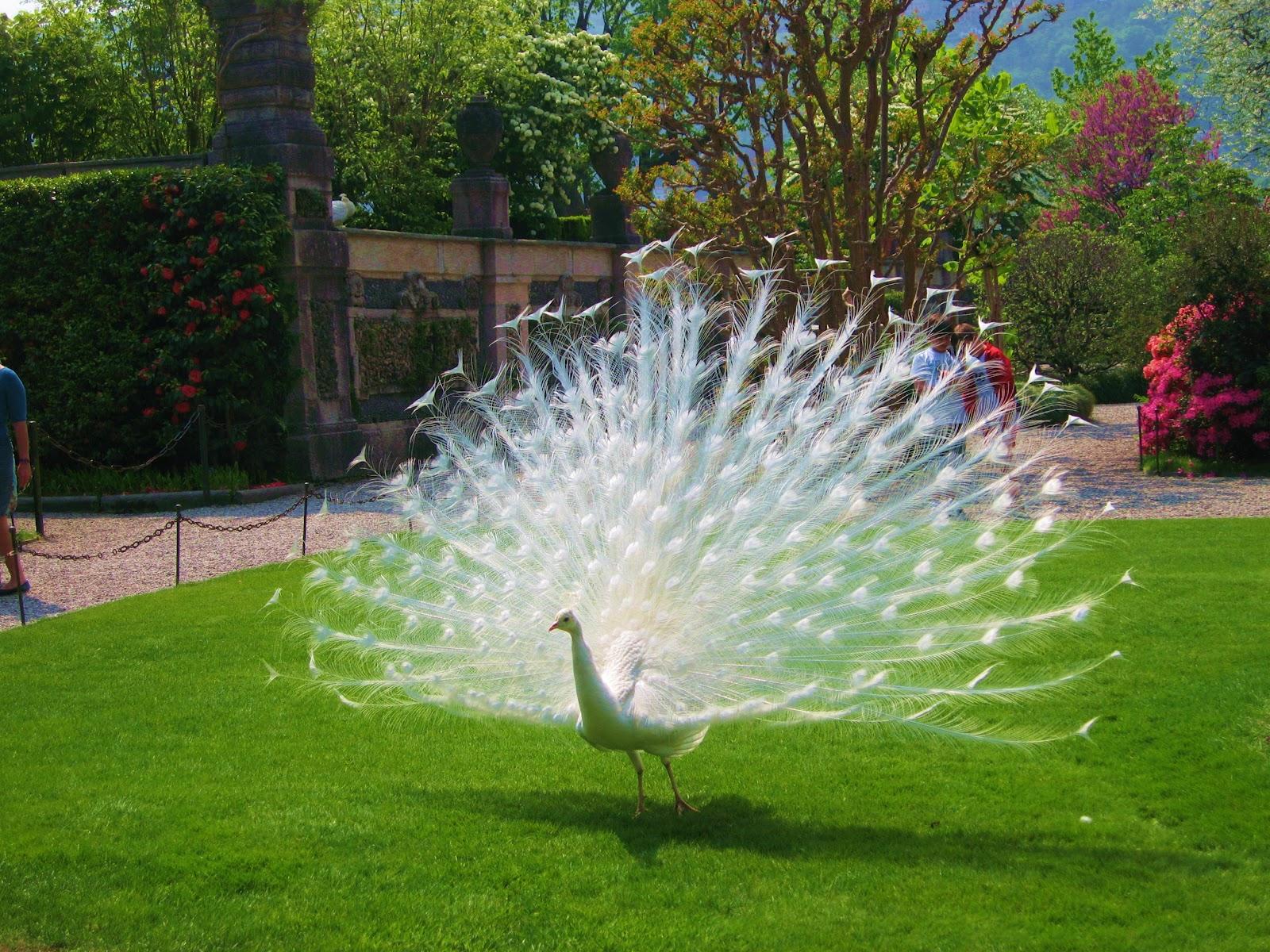 Dancing-Peacock
