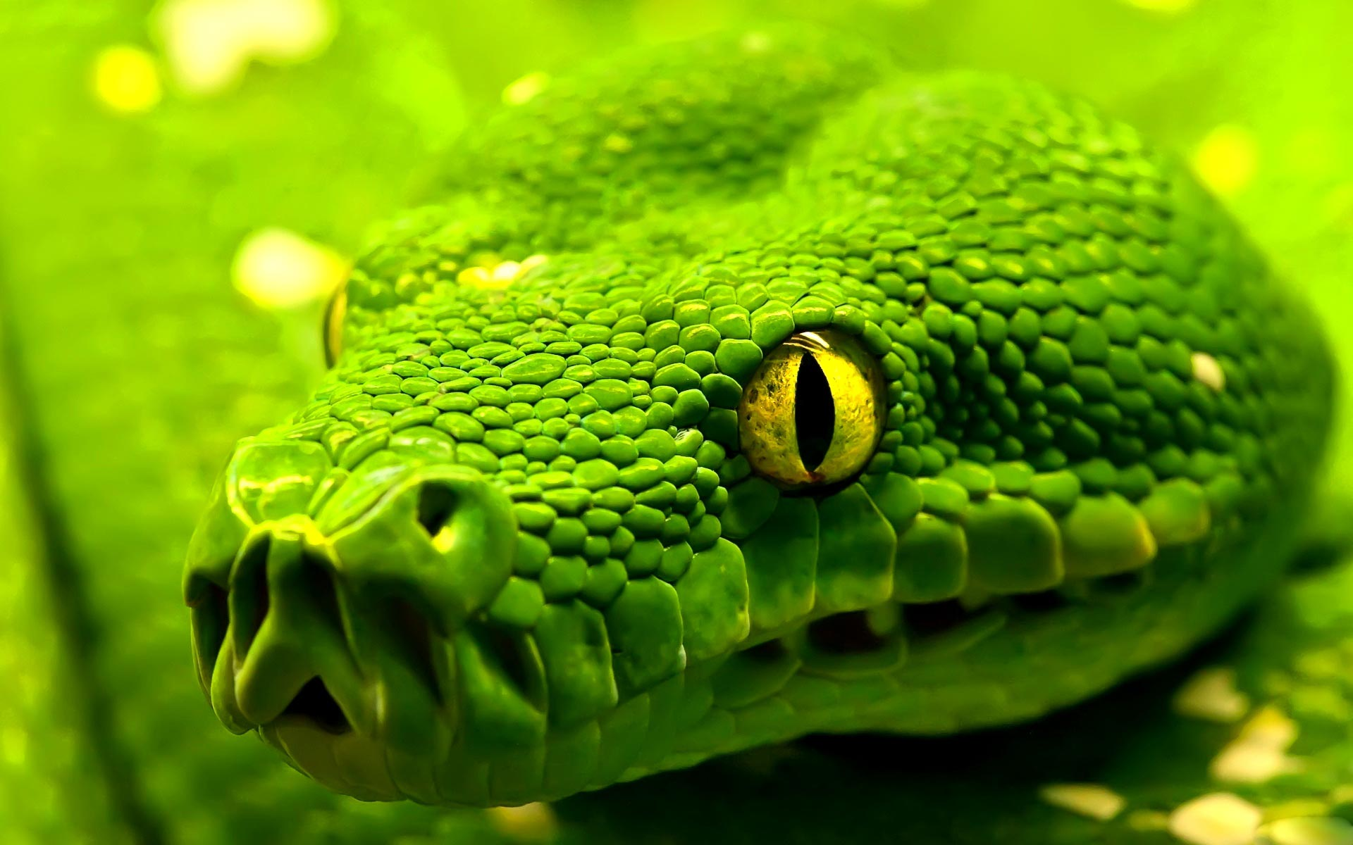 Green Snakes Wallpapers & Pictures