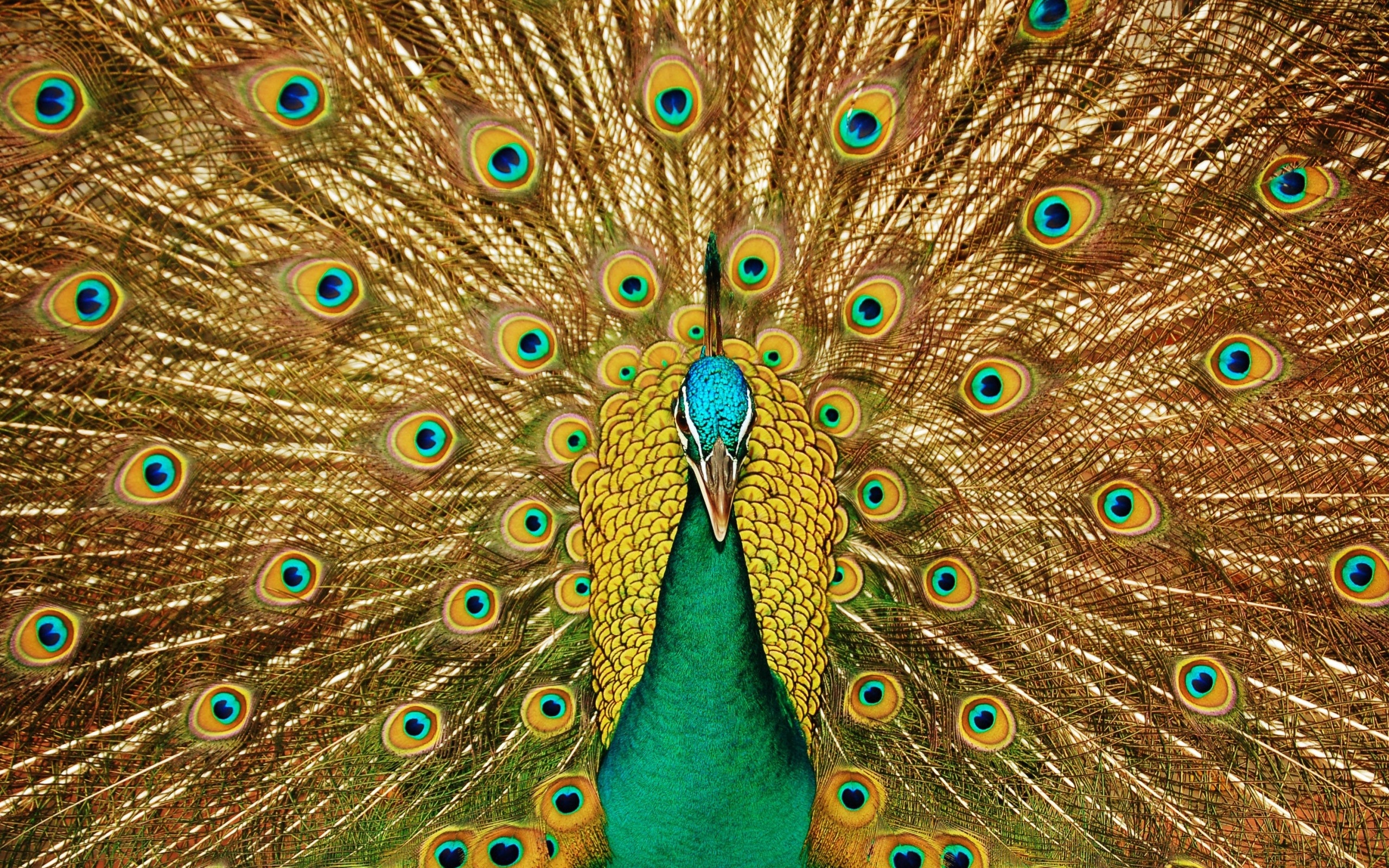 Peacock-Pictures