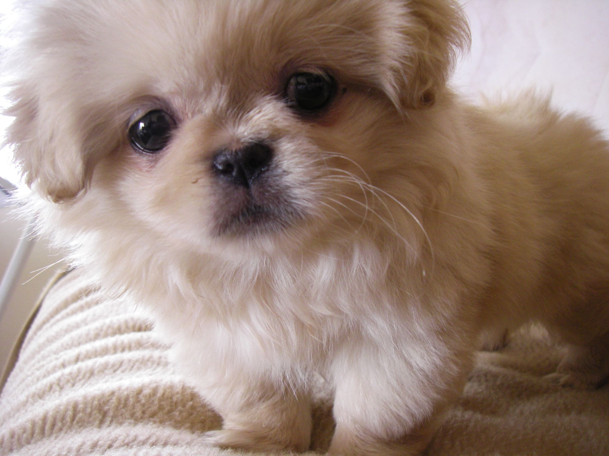 Pekingese Dogs Pictures