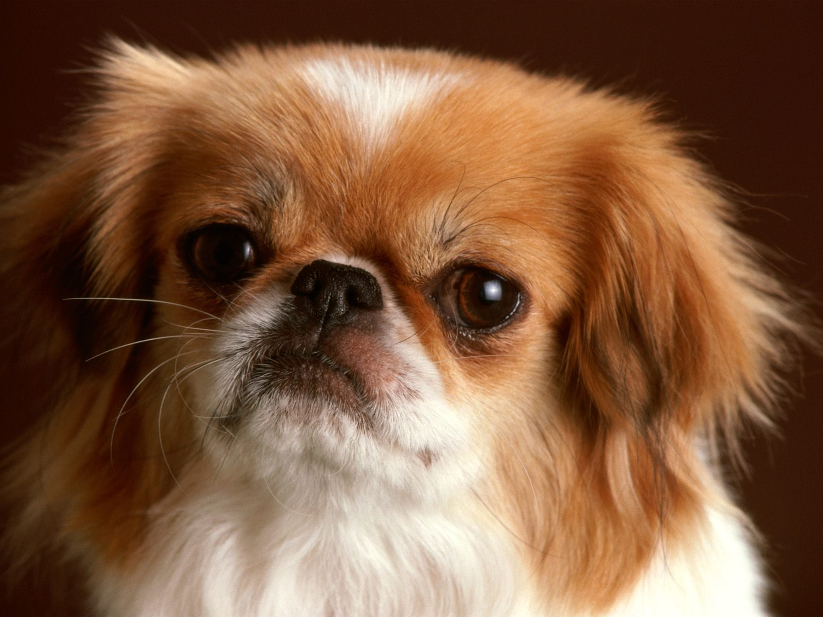 Pekingese Dogs Pictures & HD Wallpapers