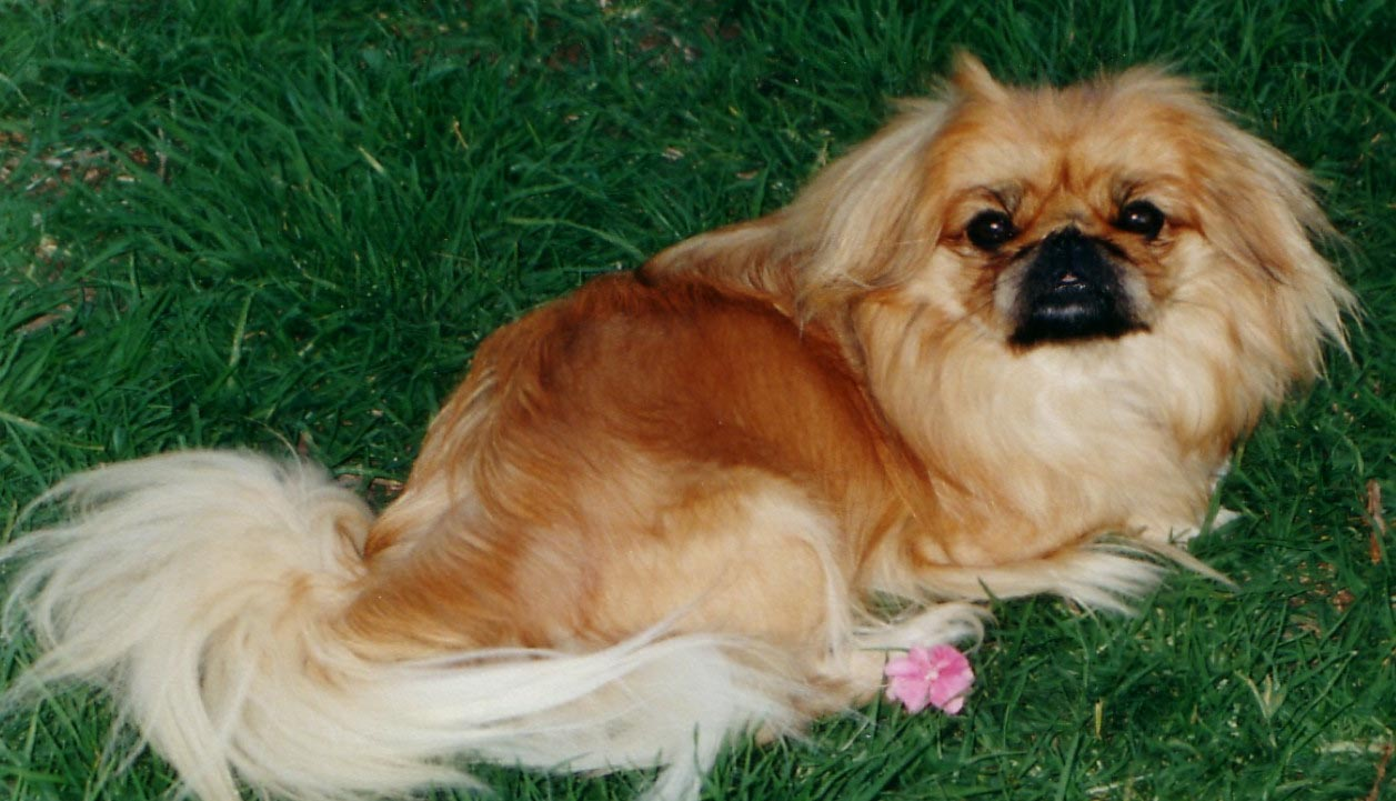 Pekingese Dogs Wallpapers