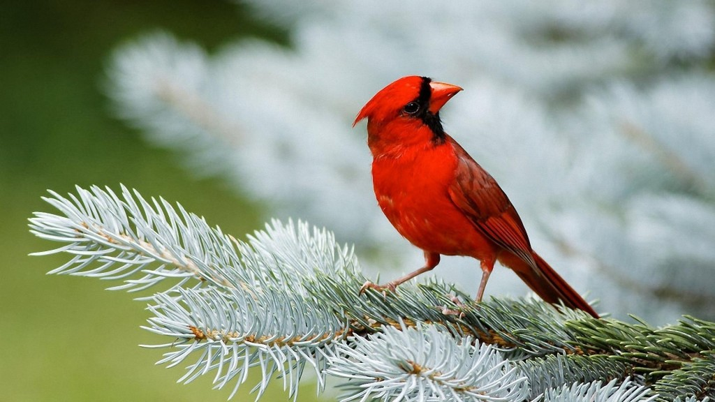 Red Cardinal Birds Pictures