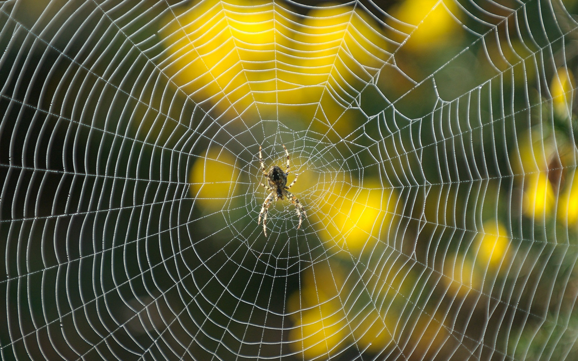 Spider  Wallpaper & Pictures
