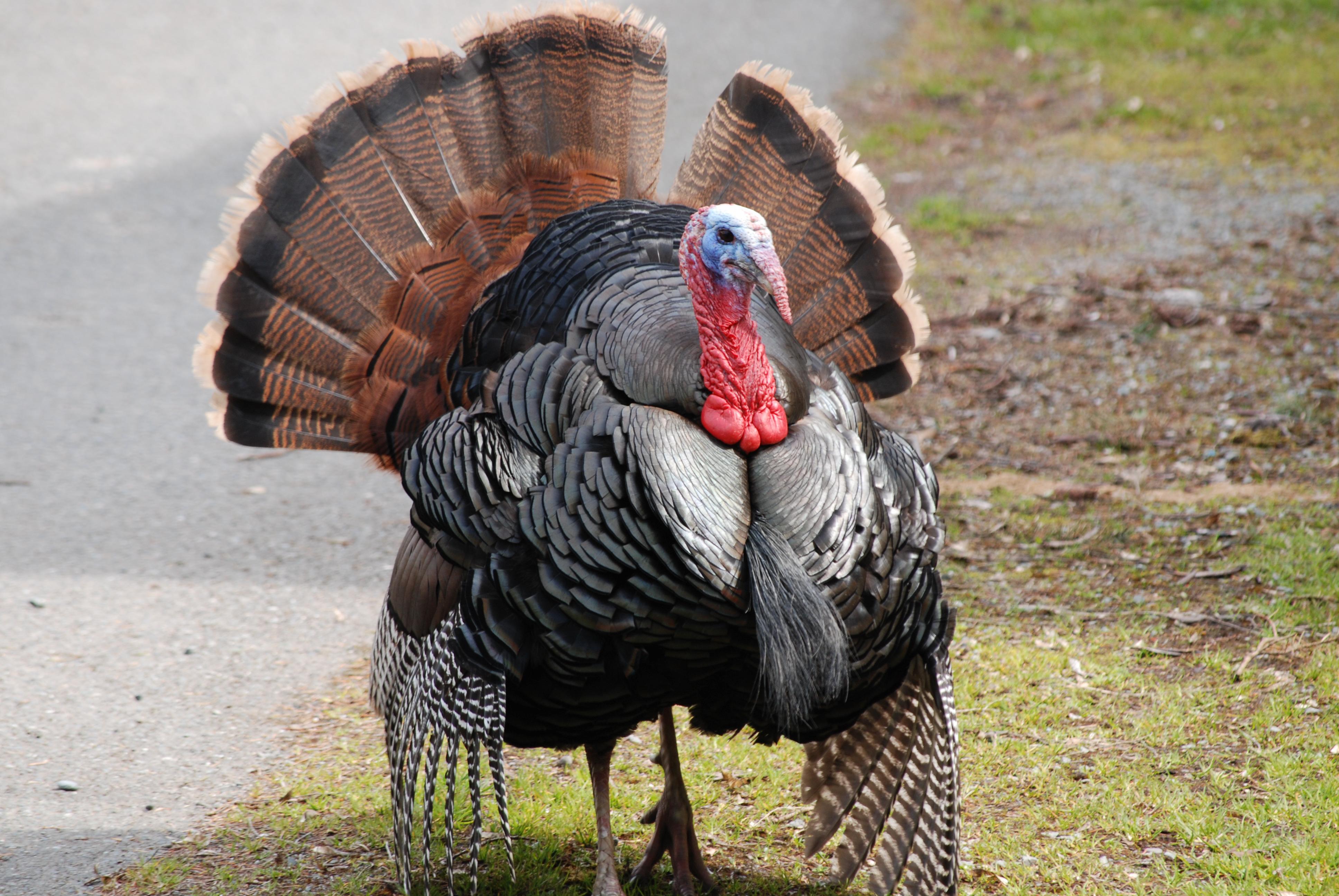 Turkey Bird Eating Food