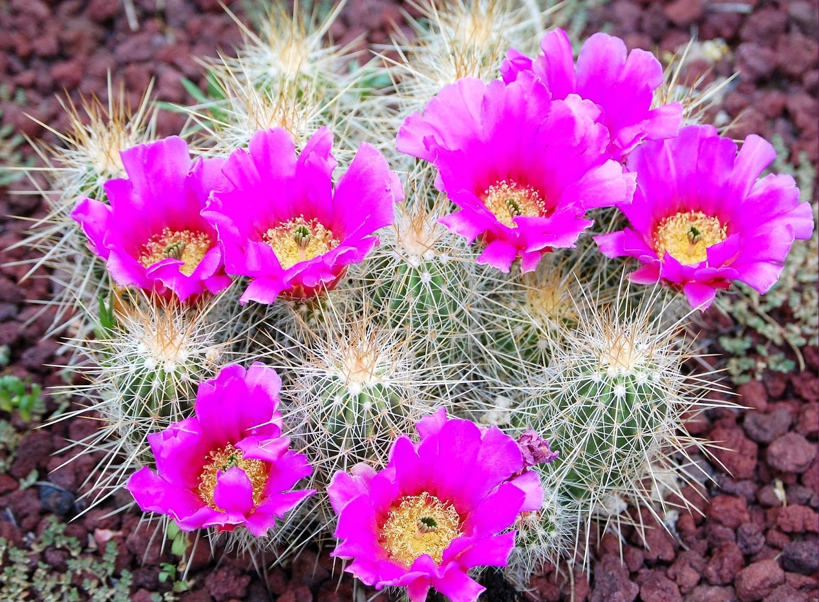 Cactus_Flowers-1