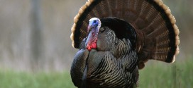 North American Wild Turkey