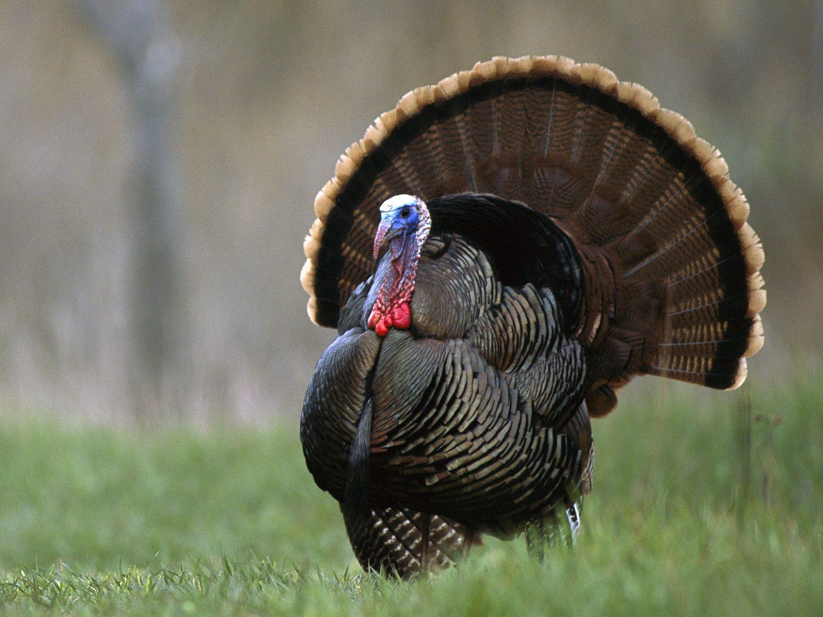 North American Wild Turkey