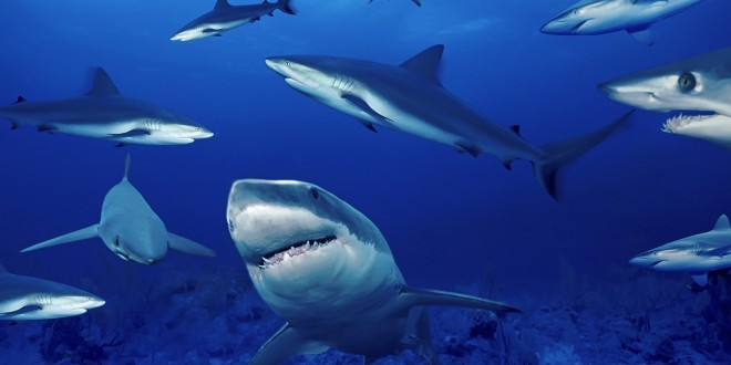 Shark-HD-Wallpaper-Humsms-3