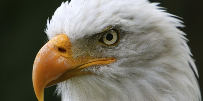 american-eagle-close-up
