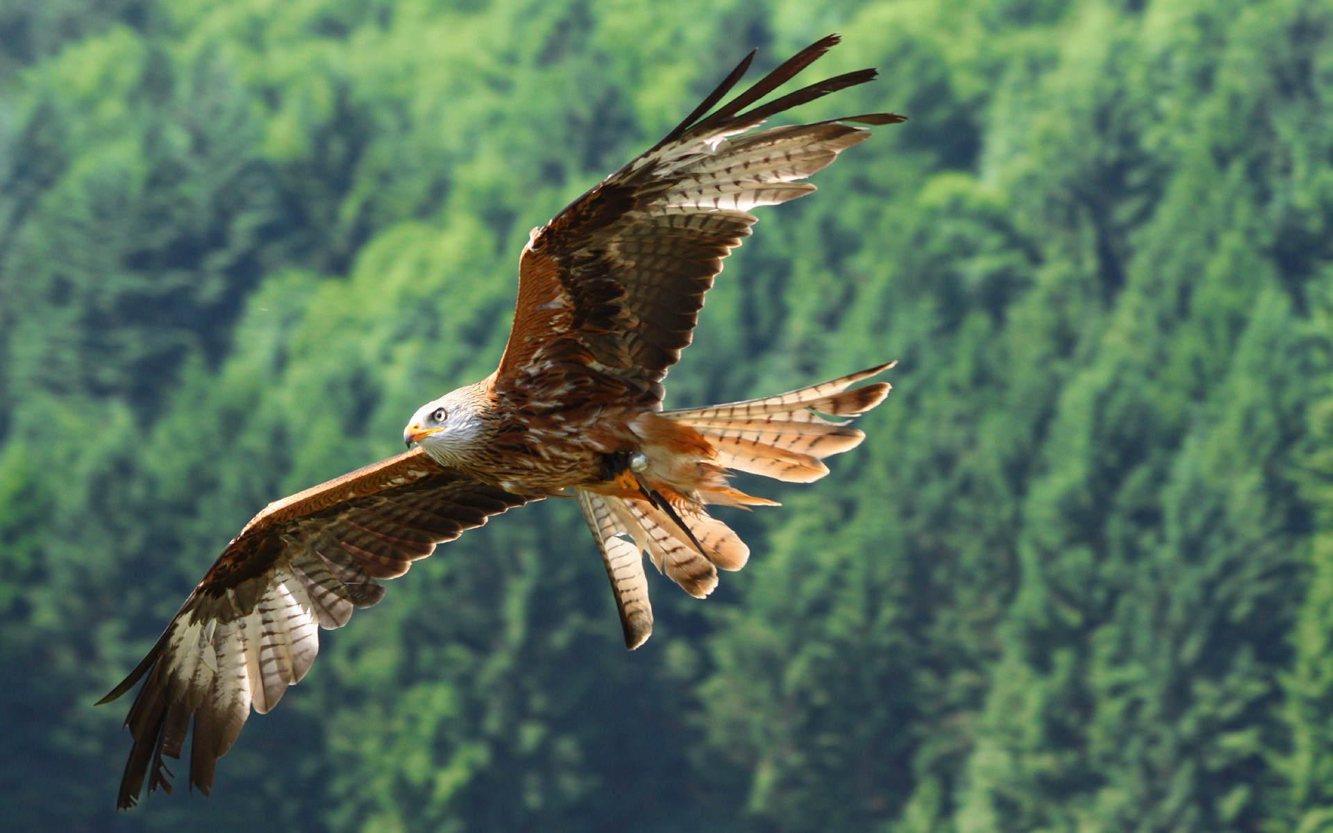 eagle flying nice picture