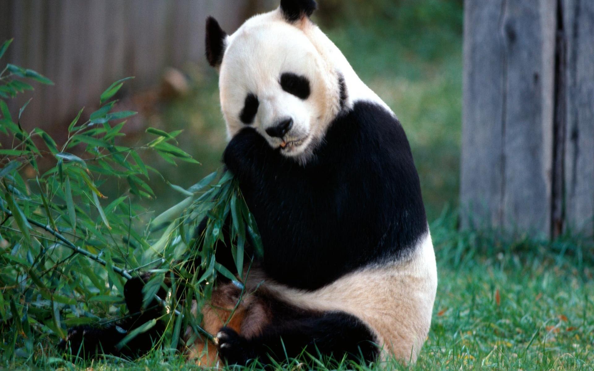 is a panda a bear