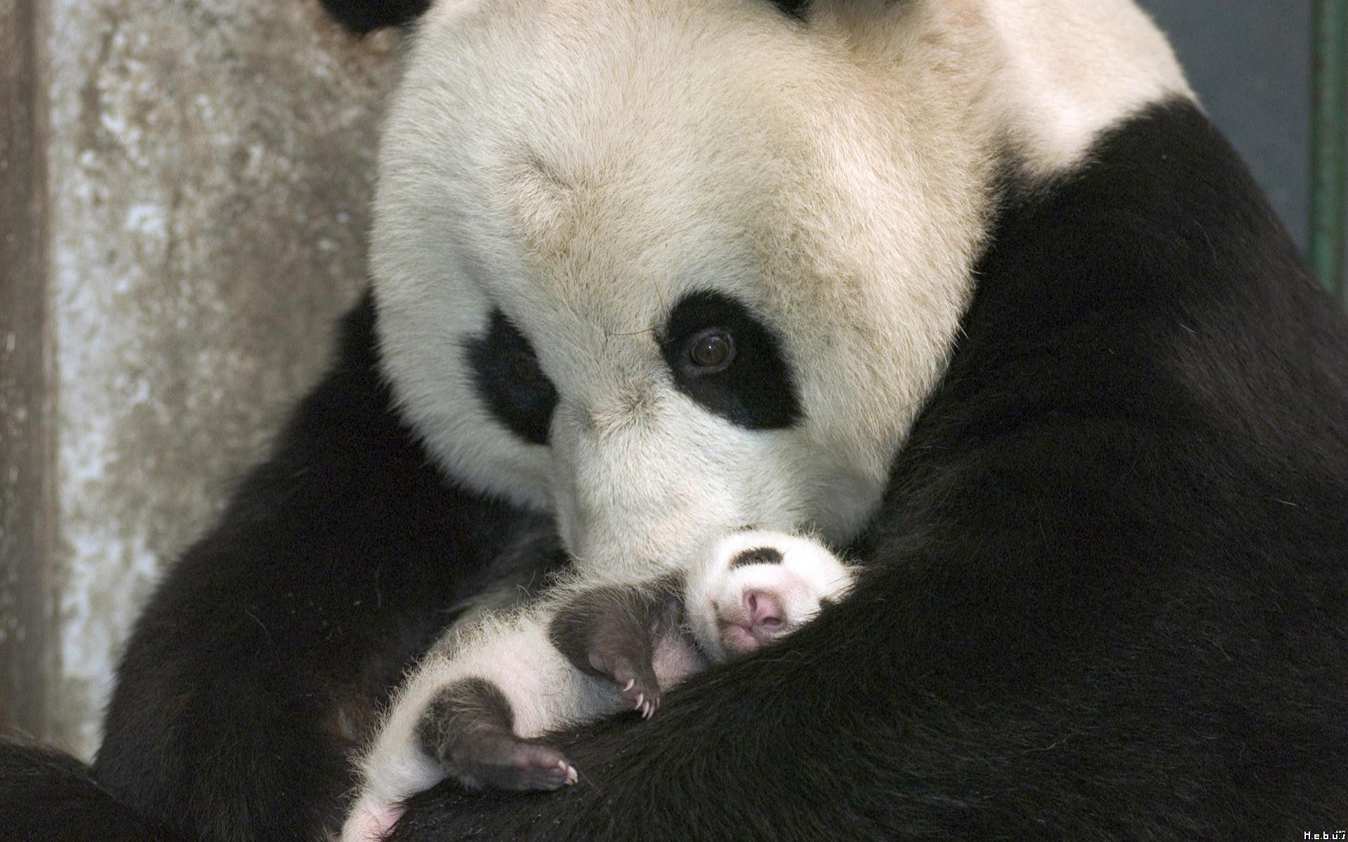 panda bear classification