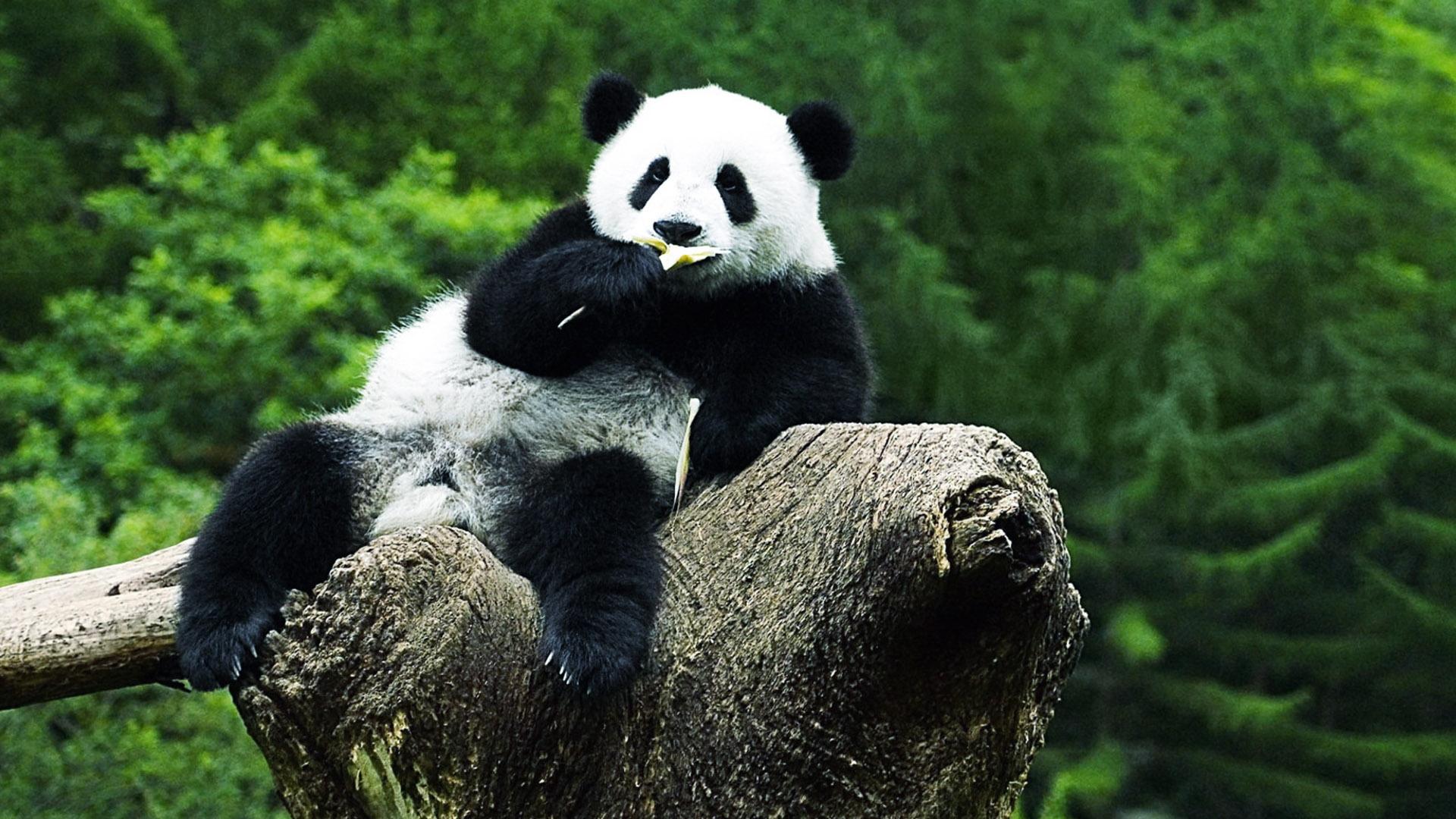panda bear diet
